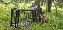 Beruang Madu Berkeliaran Dekat Pemukiman, Masyarakat di Lubuk Basung Resah