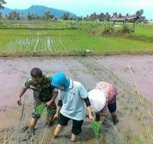 Babinsa Koramil 05 Kodim 0312/Padang Bersama Petani Tanam Padi