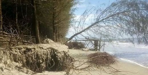Dihantam Gelombang, Ratusan Pohon Cemara di Kawasan Konservasi Penyu Ampiang Parak Pesisir Selatan Tumbang