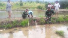 Dampingi Petani Sukseskan Swasembada Pangan, Babinsa Jajaran Kodim 0306/50 Kota Turun ke Sawah