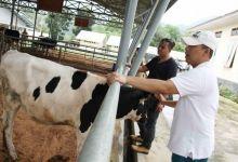 Walikota Hendri Arnis: Sapi Perah Padang Panjang Berkualitas Tinggi Siap Bersaing di MEA