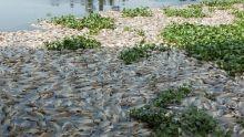 Ratusan Ton Ikan di Danau Maninjau Mendadak Mati, Diduga karena Tubo Belerang