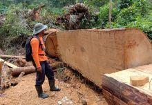 Polisi Kehutanan Pasaman Barat Temukan Ilegal Logging di Bukik Campo