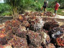 Sawit Pesisir Selatan Anjlok, Satu Kilogram Hanya Sepertiga Harga Telur Ayam