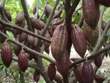 2017, Sumbar Ditargetkan Jadi Penghasil Kakao Terbesar di Dunia