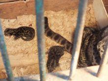 Dua Bayi Harimau Dahan Ini Menjadi Penghuni Baru TMSBK Bukittinggi