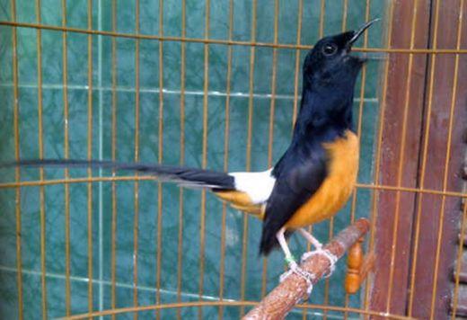 Tunjang Pariwisata Daerah, Korem 032/Wirabraja Gelar Lomba Burung Berkicau