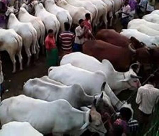Wah, 8.229 Hewan Dikurbankan Terkumpul di Padang, Koto Tangah Terbanyak