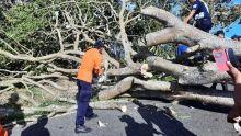 Dua Pohon Tumbang di Kelok 44 Agam, Lalu Lintas Sempat Macet Total