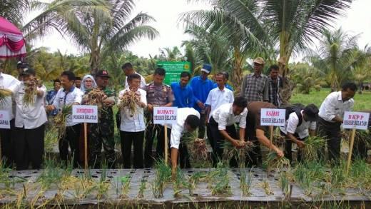 Perkuat Sektor Pertanian, Wabup Pesisir Selatan Bersama Petani Lakukan Panen Perdana Bawang Merah