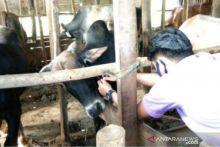 Pemko Padang Panjang Periksa Kesehatan Hewan Kurban