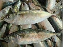 Meski Harga Ikan Kembung Terjangkau Tetapi Ada Sejuta Manfaat Yang Bisa Anda Rasakan