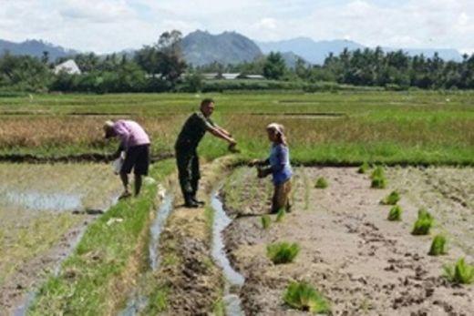 Tingkatkan Hasil Panen Babinsa Kodim Agam Bersama Petani Olah Lahan Pertanian