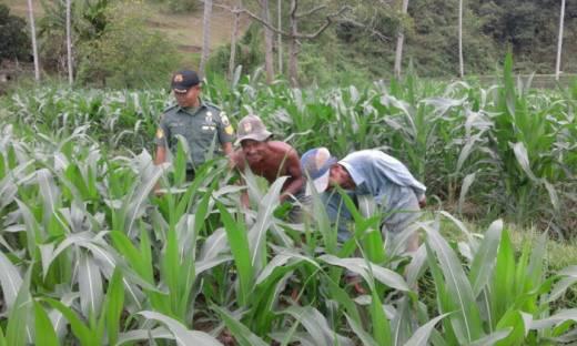 Kembangkan Jagung Hibrida, Babinsa Kodim 0307/Tanah Datar Bahu Membahu Bersama Petani