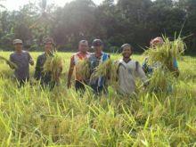 Tingkatkan Swasembada Pangan, Babinsa Koramil 06/Bayang Pesisir Selatan Dampingi Petani Panen Padi
