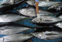 Ekspor Tuna Kota Padang Terhenti Sejak Pandemi Covid-19