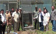 Pernah Terkam 2 Orang dan Dapat Perawatan, Bonita Harimau yang Ditakuti Warga Inhil Kembali Dilepasliarkan