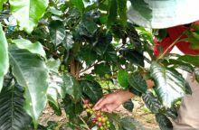 Harga Kopi Arabika di Tingkat Petani di Kabupaten Solok Anjlok